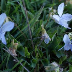 Photographie n°331073 du taxon Viola lactea Sm. [1798]