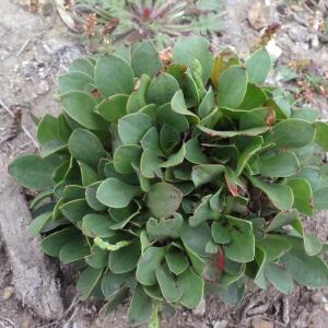 Photographie n°331084 du taxon Limonium dodartii (Girard) Kuntze