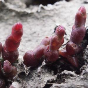 Salicornia appressa Dumort. (Salicorne)