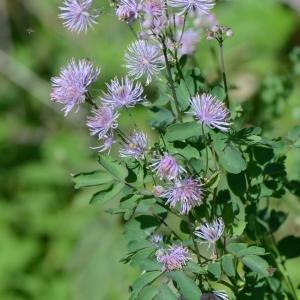 - Thalictrum aquilegiifolium L. [1753]