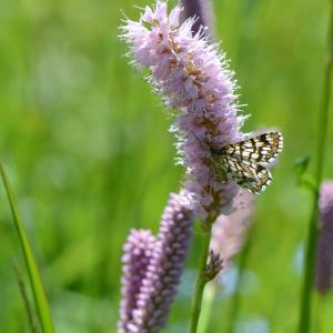 Photographie n°331330 du taxon Bistorta officinalis Delarbre