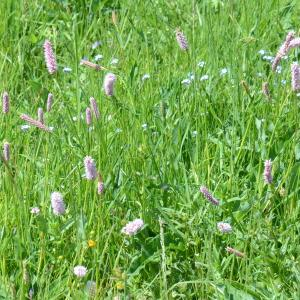 Photographie n°331331 du taxon Bistorta officinalis Delarbre