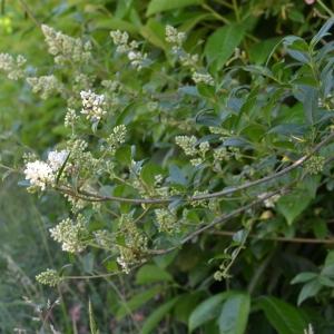 Photographie n°331763 du taxon Ligustrum vulgare L. [1753]