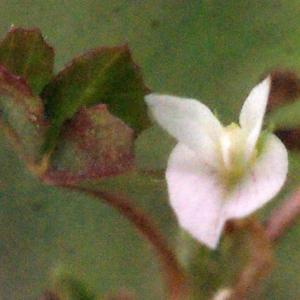 Photographie n°331907 du taxon Trifolium ornithopodioides L. [1753]