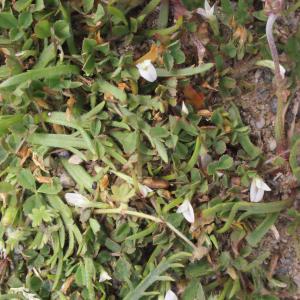 Photographie n°331908 du taxon Trifolium ornithopodioides L. [1753]