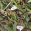 Liliane Roubaudi - Trifolium ornithopodioides L. [1753]