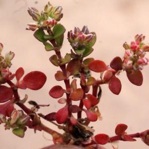 Polycarpon tetraphyllum (L.) L. (Polycarpe à quatre feuilles)
