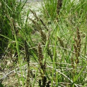 Photographie n°331996 du taxon Carex paniculata L.