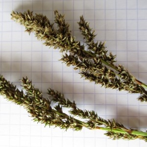 Photographie n°331998 du taxon Carex paniculata L.