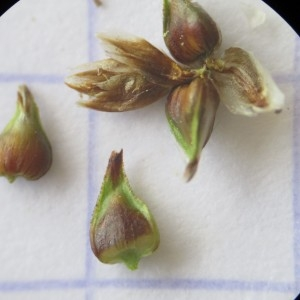 Photographie n°331999 du taxon Carex paniculata L.