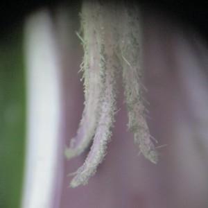 Photographie n°332004 du taxon Agrostemma githago L. [1753]