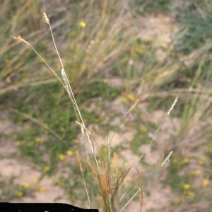 Photographie n°332072 du taxon Mibora minima (L.) Desv.