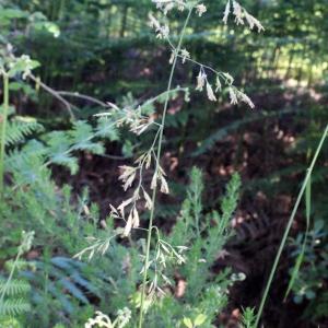 Photographie n°332127 du taxon Festuca arundinacea Schreb. [1771]