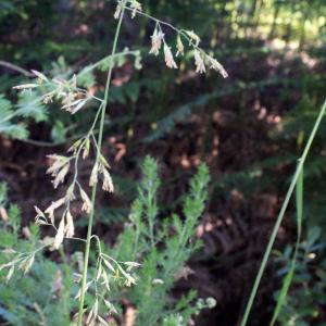 Photographie n°332128 du taxon Festuca arundinacea Schreb. [1771]