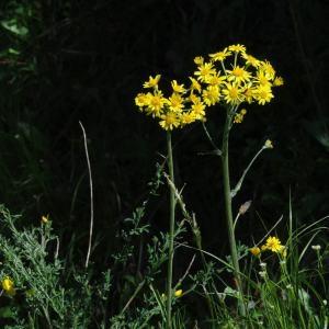 Photographie n°332355 du taxon Tephroseris helenitis subsp. helenitis