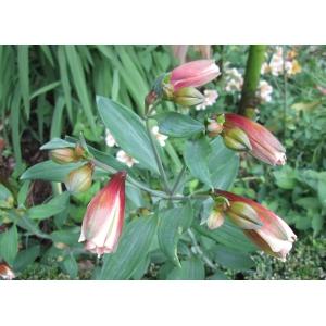 Alstroemeria aurea Graham (Golden Lily-of-the-Incas)