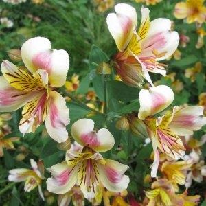 Photographie n°332377 du taxon Alstroemeria aurea