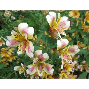 Alstroemeria aurea Graham (Golden Lily-of-the-Incas)