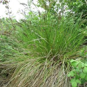 Photographie n°332781 du taxon Carex paniculata L.