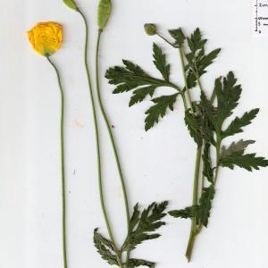 Photographie n°332882 du taxon Meconopsis cambrica (L.) Vig. [1814]