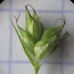 - Carex divulsa Stokes [1787]
