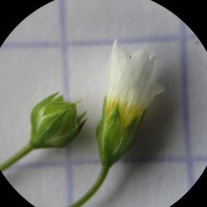 Photographie n°332918 du taxon Linum catharticum L. [1753]