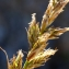 Liliane Roubaudi - Carex arenaria L. [1753]
