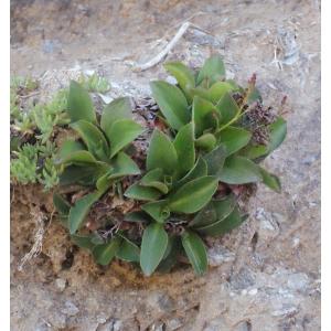 Limonium ovalifolium (Poir.) Kuntze (Limonium à feuilles ovales)