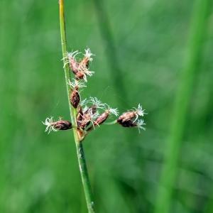 Photographie n°333450 du taxon Schoenoplectus lacustris (L.) Palla [1888]