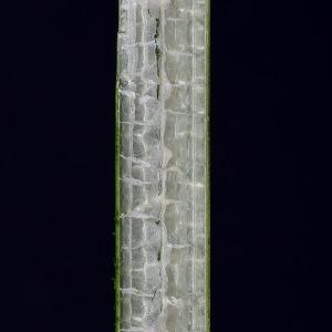 Photographie n°333451 du taxon Schoenoplectus lacustris (L.) Palla [1888]