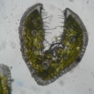 Photographie n°333460 du taxon Festuca lemanii Bastard [1809]