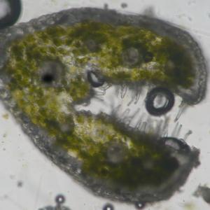 Photographie n°333461 du taxon Festuca lemanii Bastard [1809]
