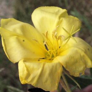 Oenothera glazioviana Micheli (Onagre à grandes fleurs)