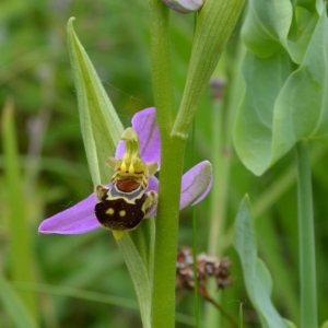 Photographie n°333896 du taxon Ophrys apifera Huds. [1762]