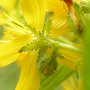 - Hypericum hirsutum L.