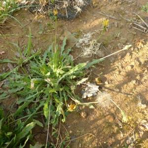 Photographie n°333981 du taxon Leontodon saxatilis subsp. saxatilis