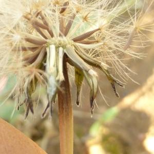 Photographie n°333982 du taxon Leontodon saxatilis subsp. saxatilis