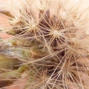 - Leontodon saxatilis subsp. saxatilis