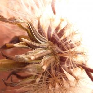 Photographie n°333984 du taxon Leontodon saxatilis subsp. saxatilis