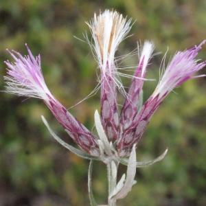 Serratula conica Lam. [1779] (Stéhéline)