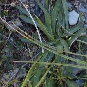 - Tolpis staticifolia (All.) Sch.Bip.