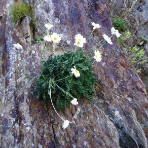 Photographie n°334086 du taxon Anthemis cretica subsp. columnae (Ten.) Franzén [1986]
