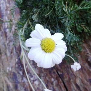 Photographie n°334087 du taxon Anthemis cretica subsp. columnae (Ten.) Franzén [1986]