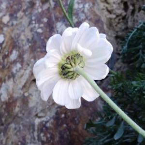 Photographie n°334088 du taxon Anthemis cretica subsp. columnae (Ten.) Franzén [1986]