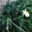 Alain Bigou - Anthemis cretica subsp. columnae (Ten.) Franzén [1986]