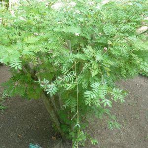 Calliandra surinamensis Benth. (Bottle-brush tree)