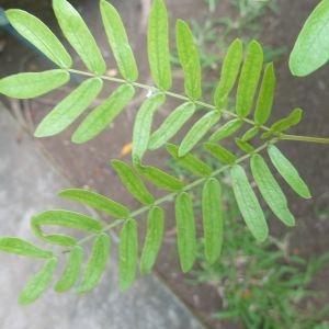 Photographie n°334543 du taxon Calliandra surinamensis Benth.