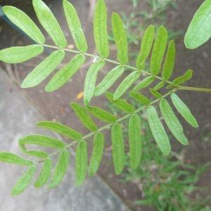 Photographie n°334544 du taxon Calliandra surinamensis Benth.