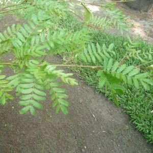 Photographie n°334545 du taxon Calliandra surinamensis Benth.