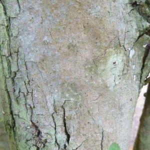 Photographie n°334546 du taxon Calliandra surinamensis Benth.